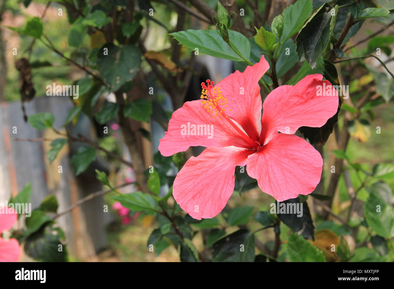 Pink hibiscus flower growing in Pokhara, Nepal. - Stock Image