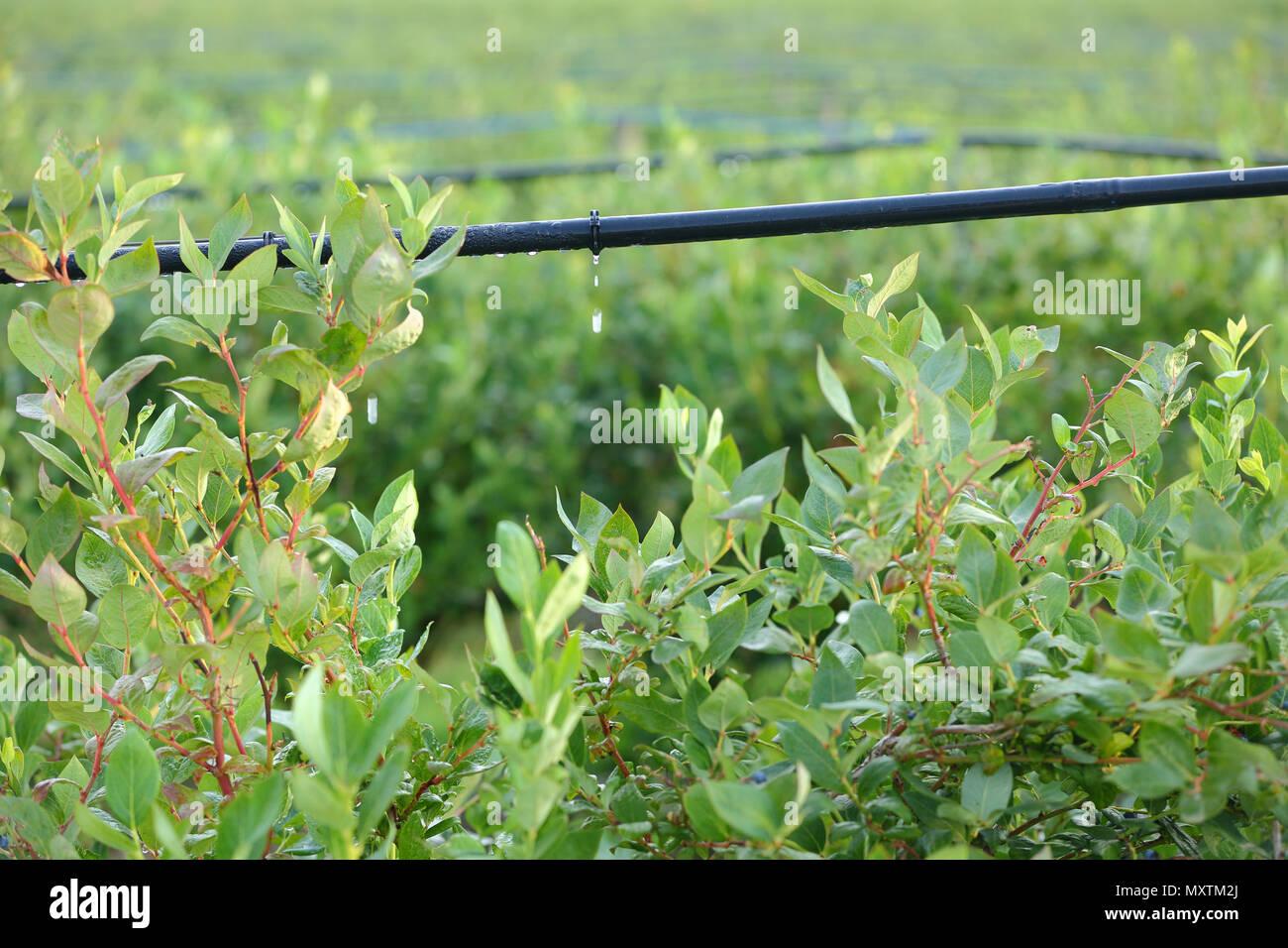 Drip Irrigation Stock Photos & Drip Irrigation Stock Images