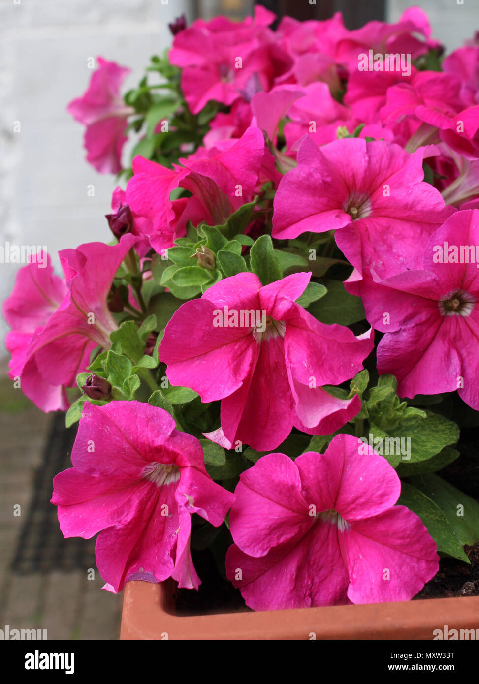 The vibrant pink flowers of of the popular summer bedding plant, Petunia, growing in a window box. - Stock Image