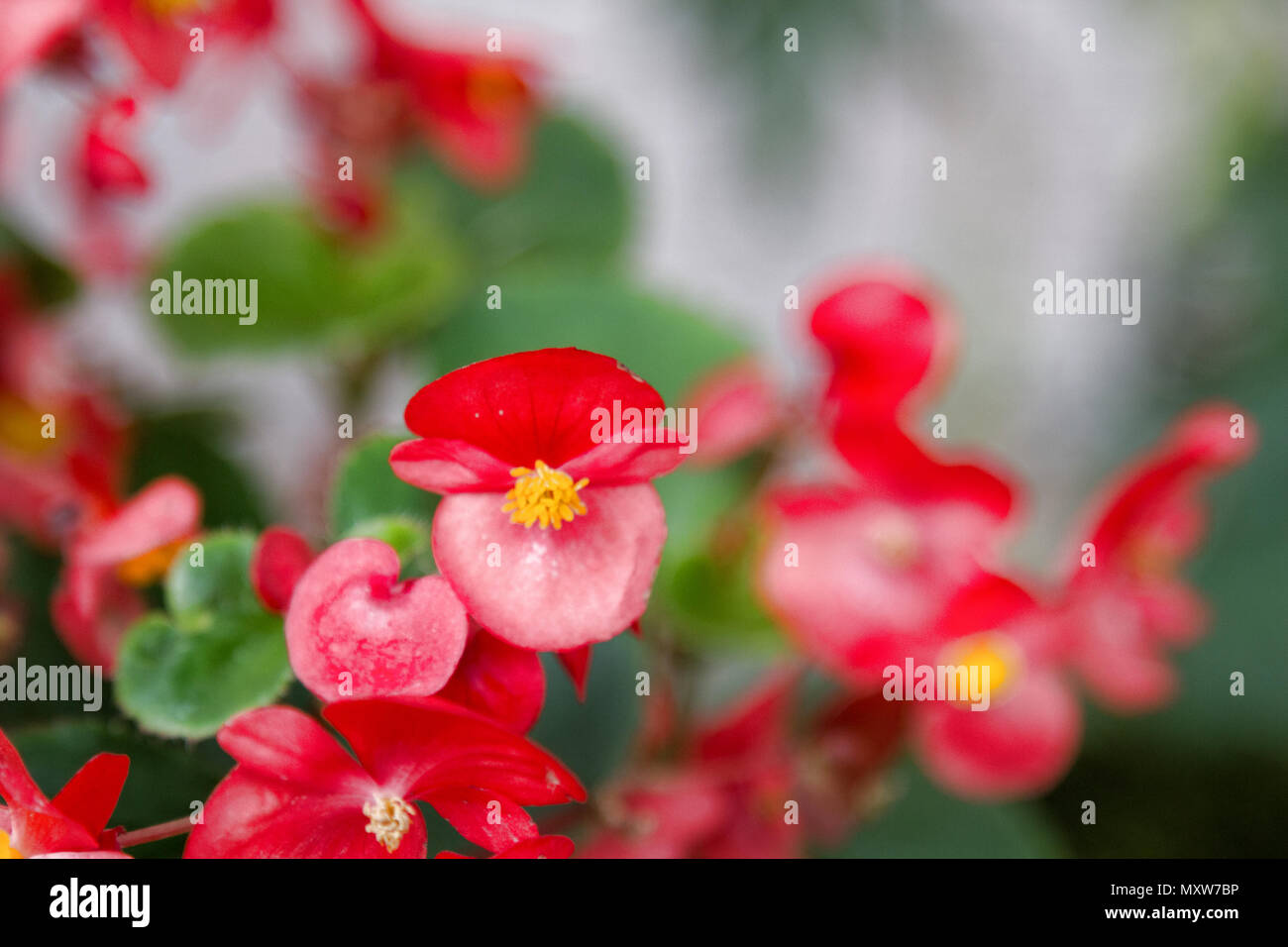 Busy Lizzie, red shiny flowers. Impatiens. Balsaminбceae ...