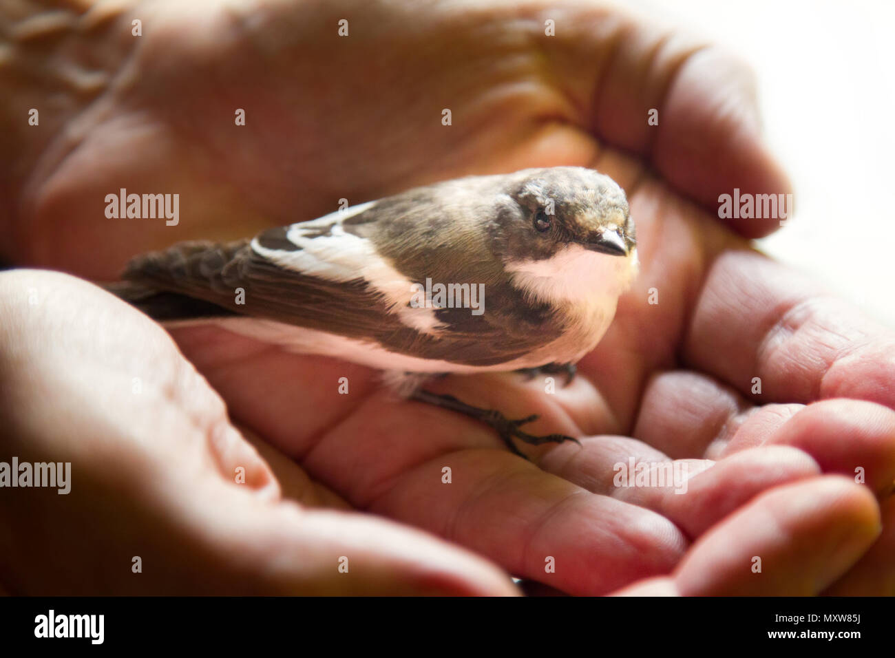 Trusting Bird On Palm Of Person Symbol Of Unity Of Man And Nature