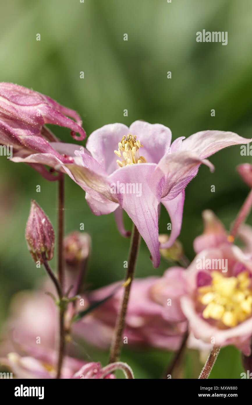 A Side View Of The Pink Columbine Flower In A Garden Stock Photo