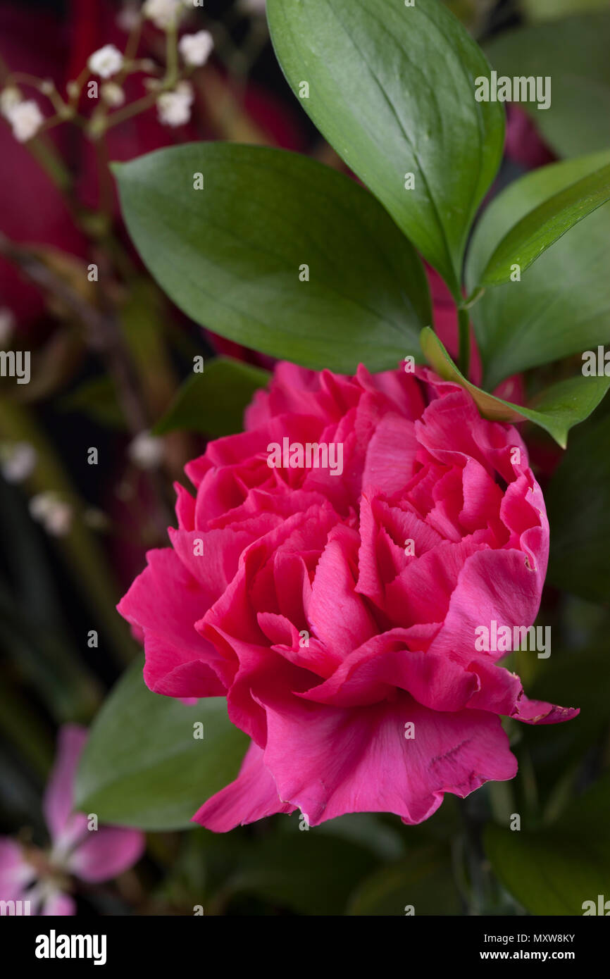 Macro of pink carnation in a bouquet. - Stock Image