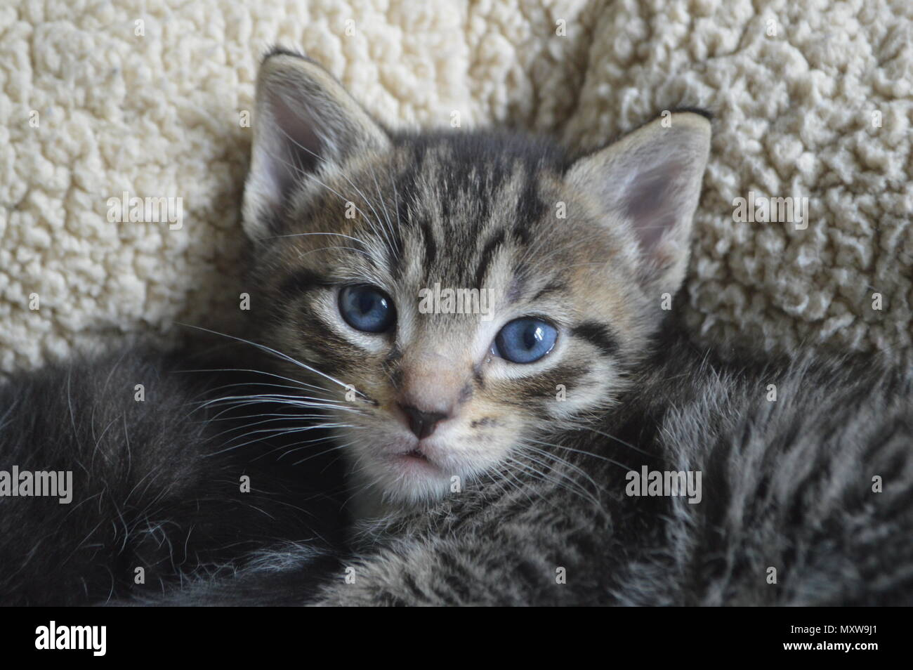 Tabby Kitten With Blue Eyes 6 Weeks Old Kitten Stock Photo Alamy