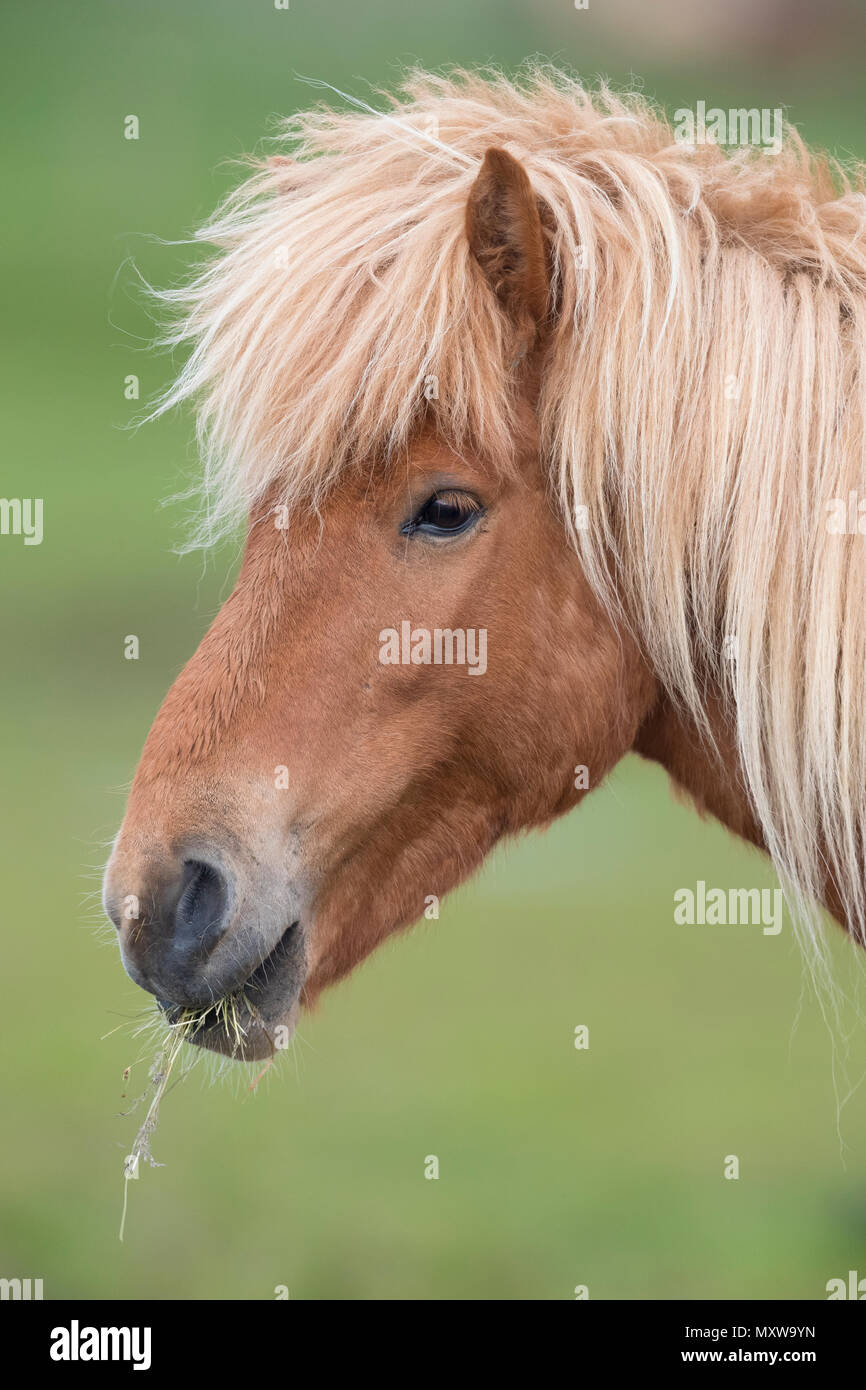 Icelandic Horse (Equus caballus), adult close-up - Stock Image