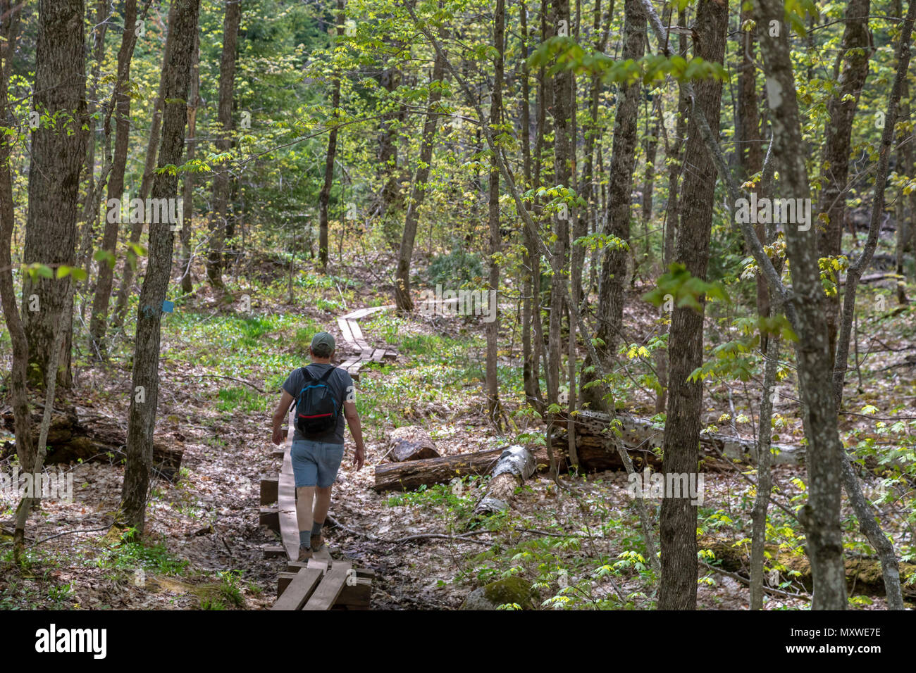 Ontonagon, Michigan - A hiker on boardwalk on a wet section of the Little Carp River Trail in Porcupine Mountains Wilderness State Park. Stock Photo