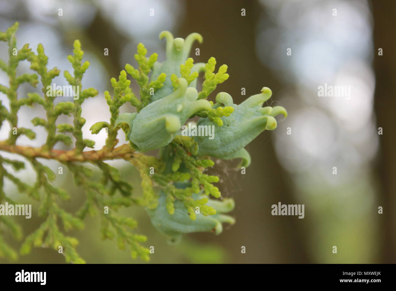 White cedar tree fruit on the end of a branch. - Stock Image
