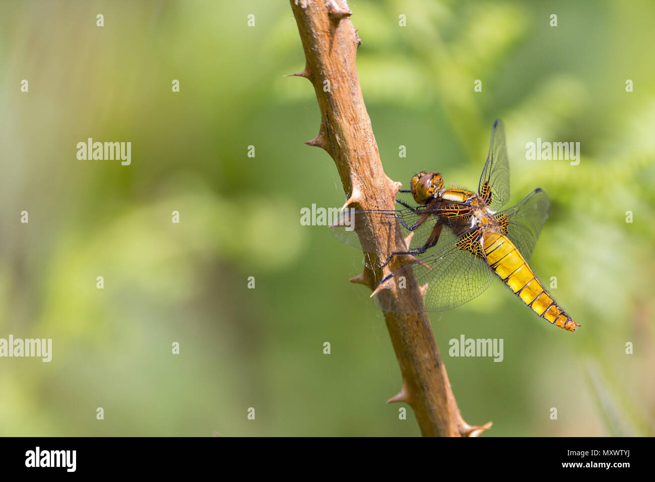 Broad bodied chaser (libellula depressa) yellow brown flattened abdomen female or immature male perched on twiggy vegetation. Brown wing base. - Stock Image