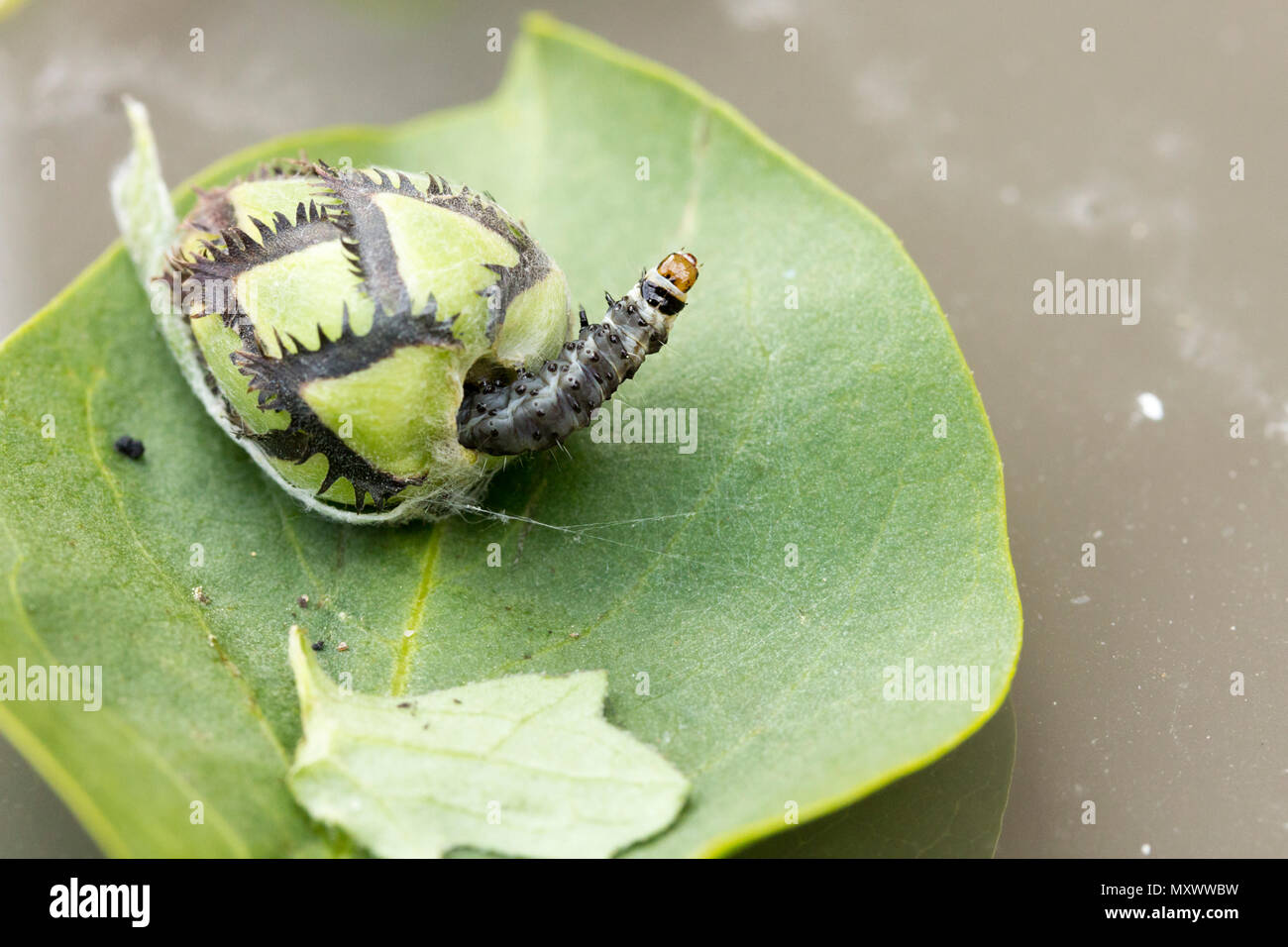 Caterpillar emerged from cornflower bud used silk threads to secure leaves and bud together caterpillar came out secured its home then went inside - Stock Image