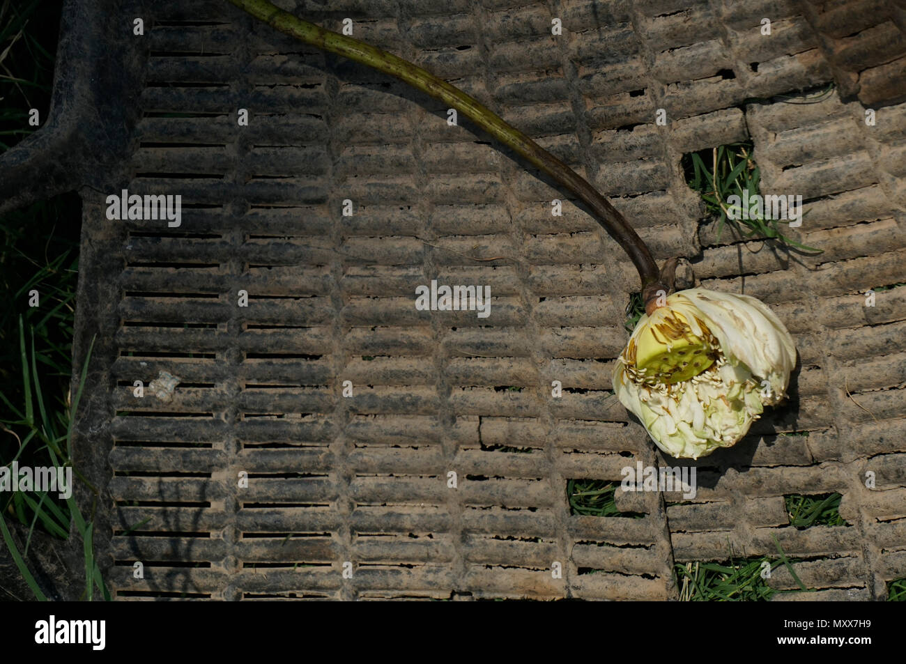 Dead lotus flower in basket stock photo 188661461 alamy dead lotus flower in basket izmirmasajfo