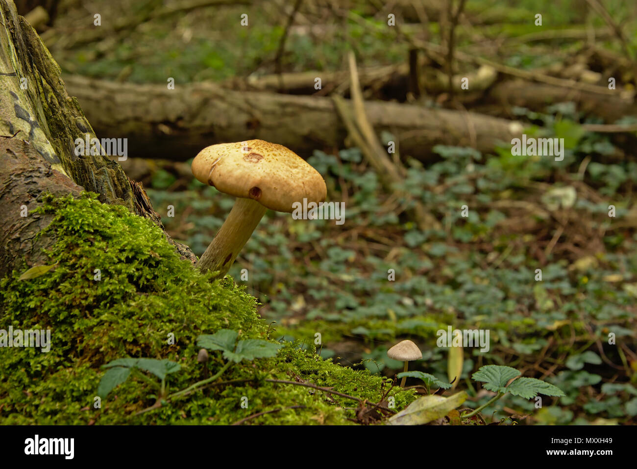 Wild forest mushroom and moss on a tree trunk in the woods, selective focus Stock Photo