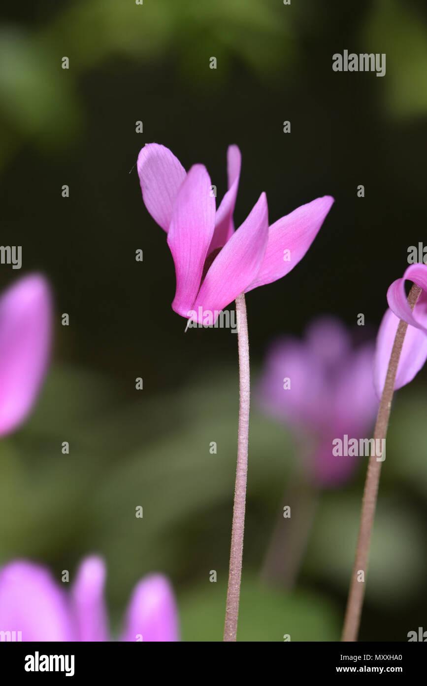 Spring Sowbread - Cyclamen repandum - Stock Image