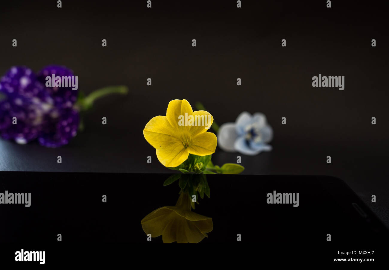 Flowers with reflection in dark studio smartphone - Stock Image
