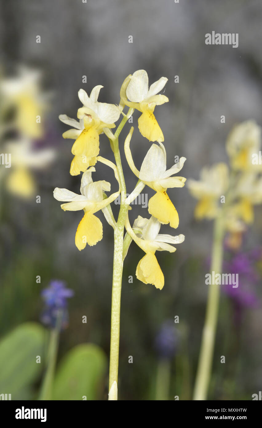Sparse-flowered Orchid - Orchis pauciflora - Stock Image