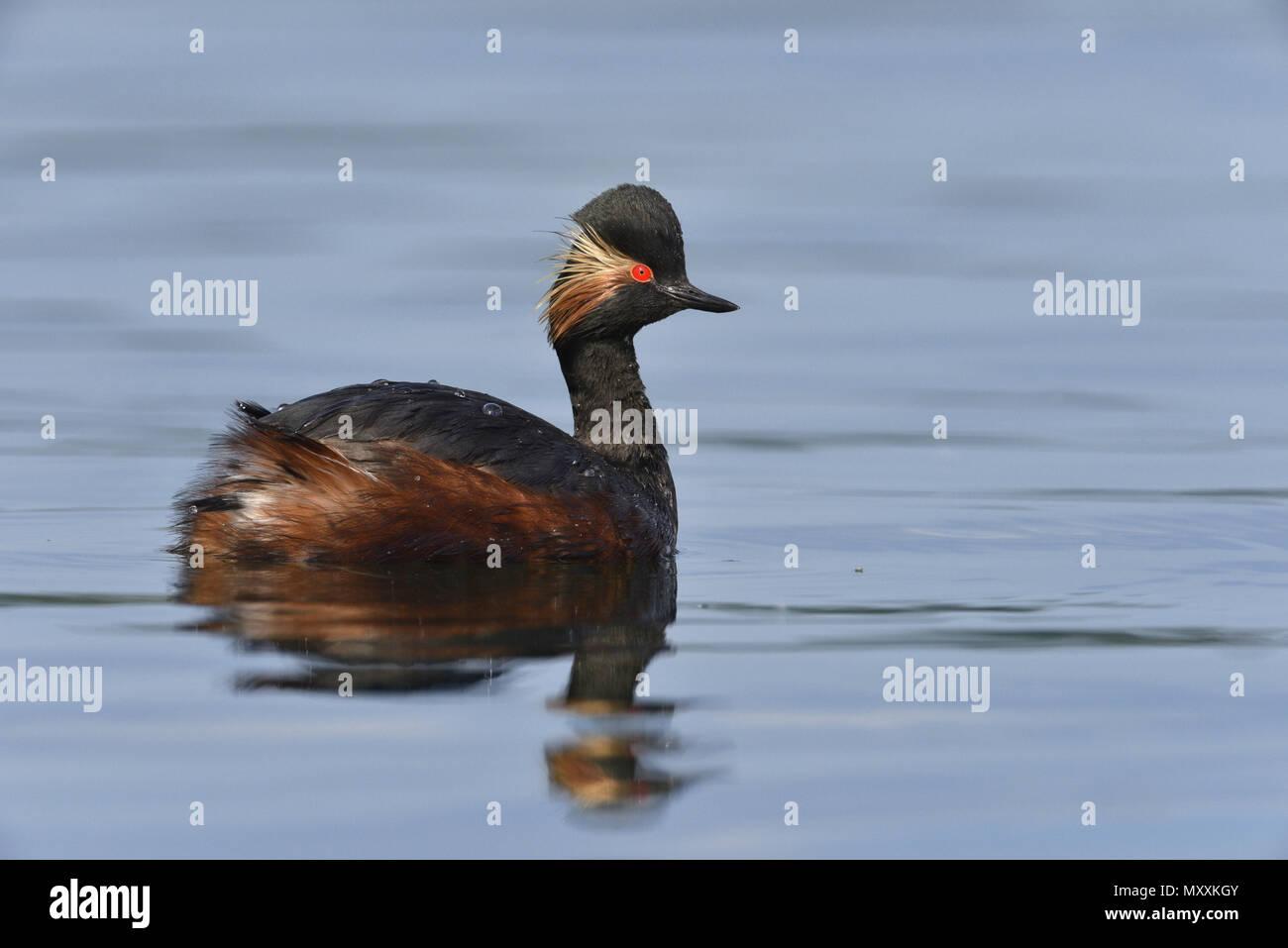 Black-necked Grebe - Podiceps nigricollis - Stock Image