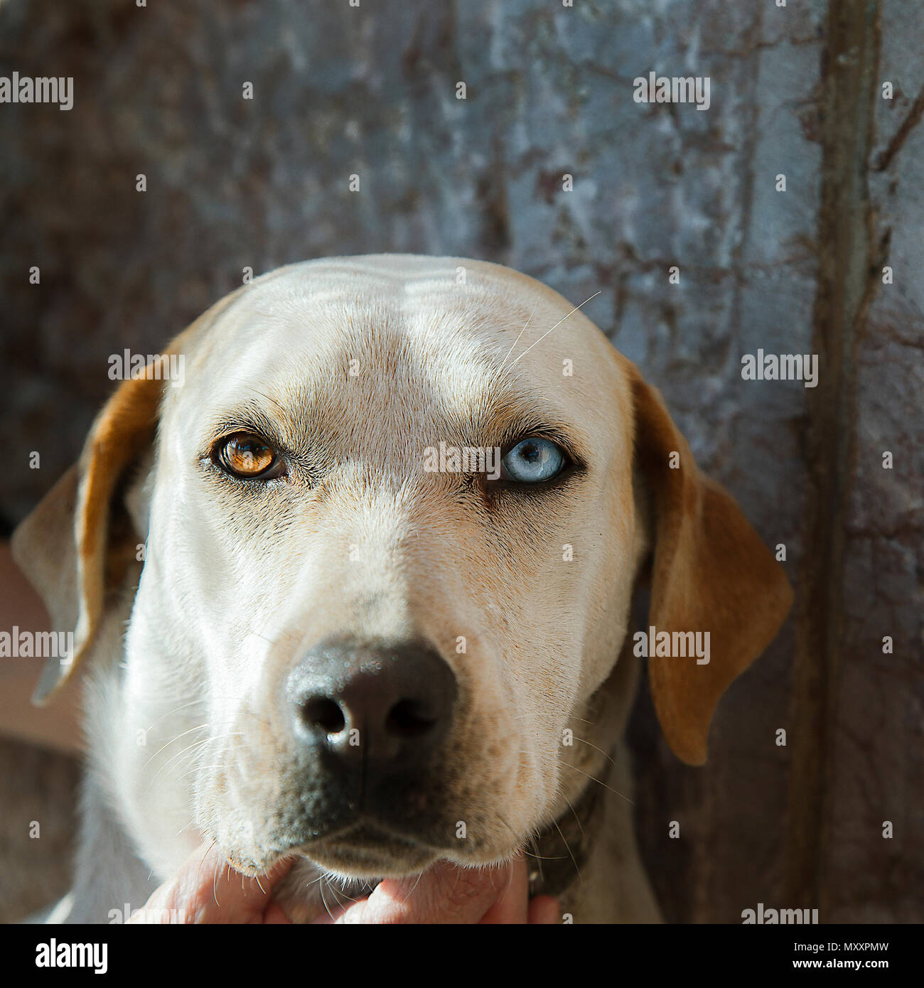Lab Mix  Dog Portrait with a Brown and Blue Eye. Stock Image. - Stock Image