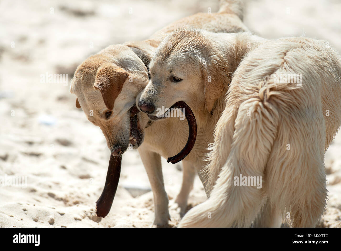 Labrador and Retriever playing on beach with kelp stipe Stock Photo