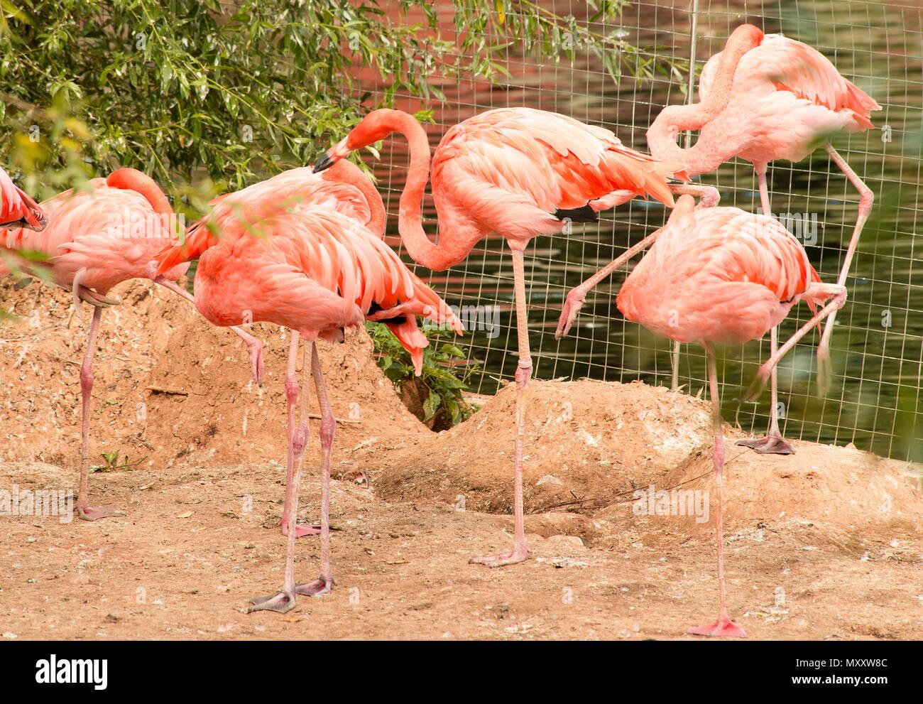 pink flamingoes at captivity - Stock Image