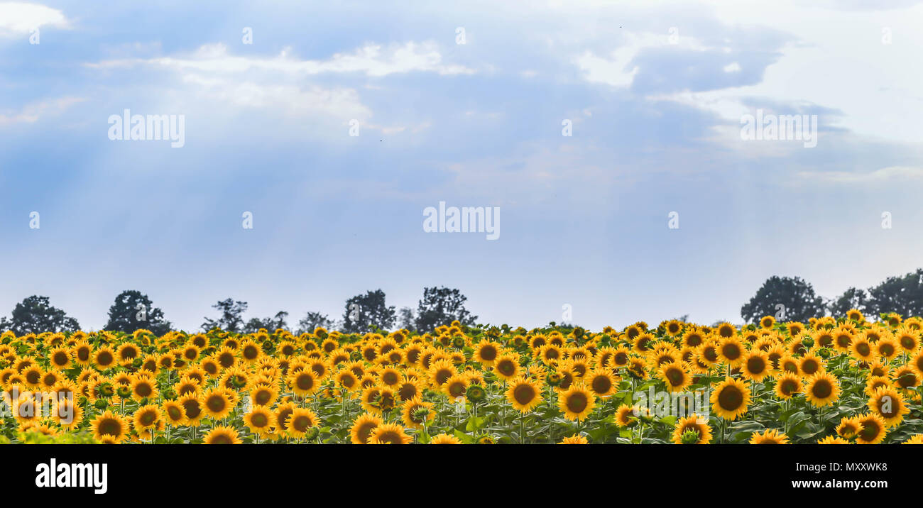 Very Beautiful Sky On The Background Of Fields With Sunflowers Sunset Stock Photo Alamy