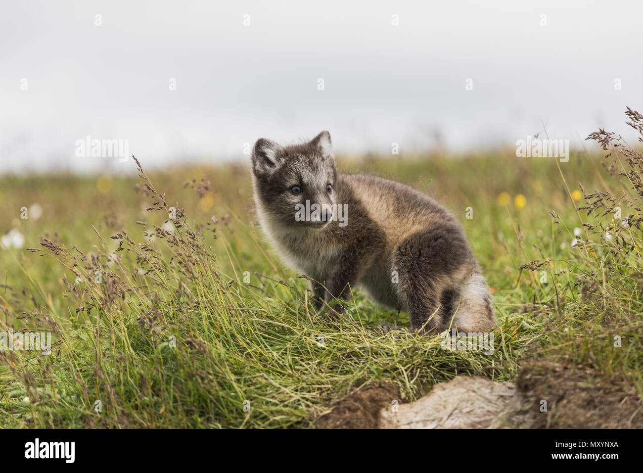 Close up of a young playful arctic fox cub on iceland in summer - Stock Image