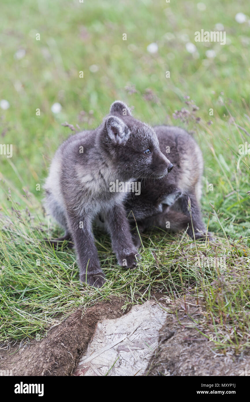 Close up of two young playful arctic fox cub in front of their lair on iceland - Stock Image