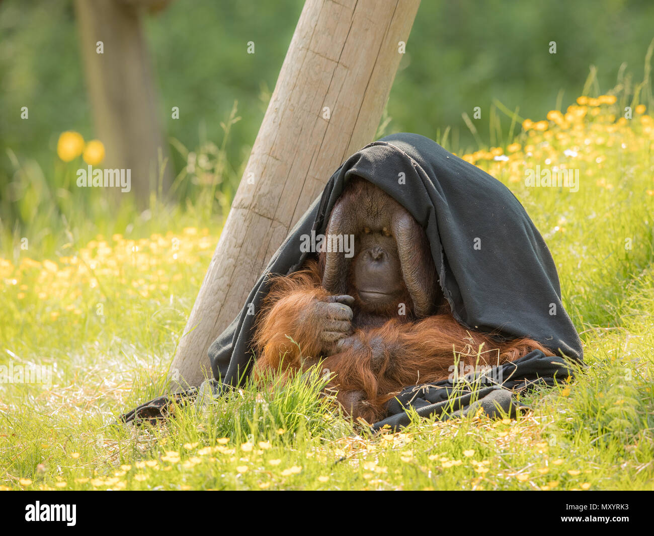 Adult male Bornean Orangutan - Pongo pygmaeus - sitting outdoors in green grass, partly hiding under a black blanket. Looking shy, thoughtful and introvert. - Stock Image