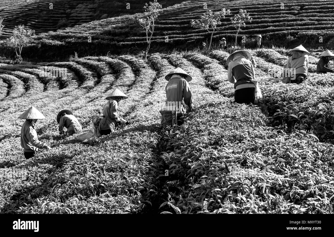 Group farmers in labor costume, conical hats harvesting tea in the morning. This is a form collective labor, reflecting culture in highlands - Stock Image