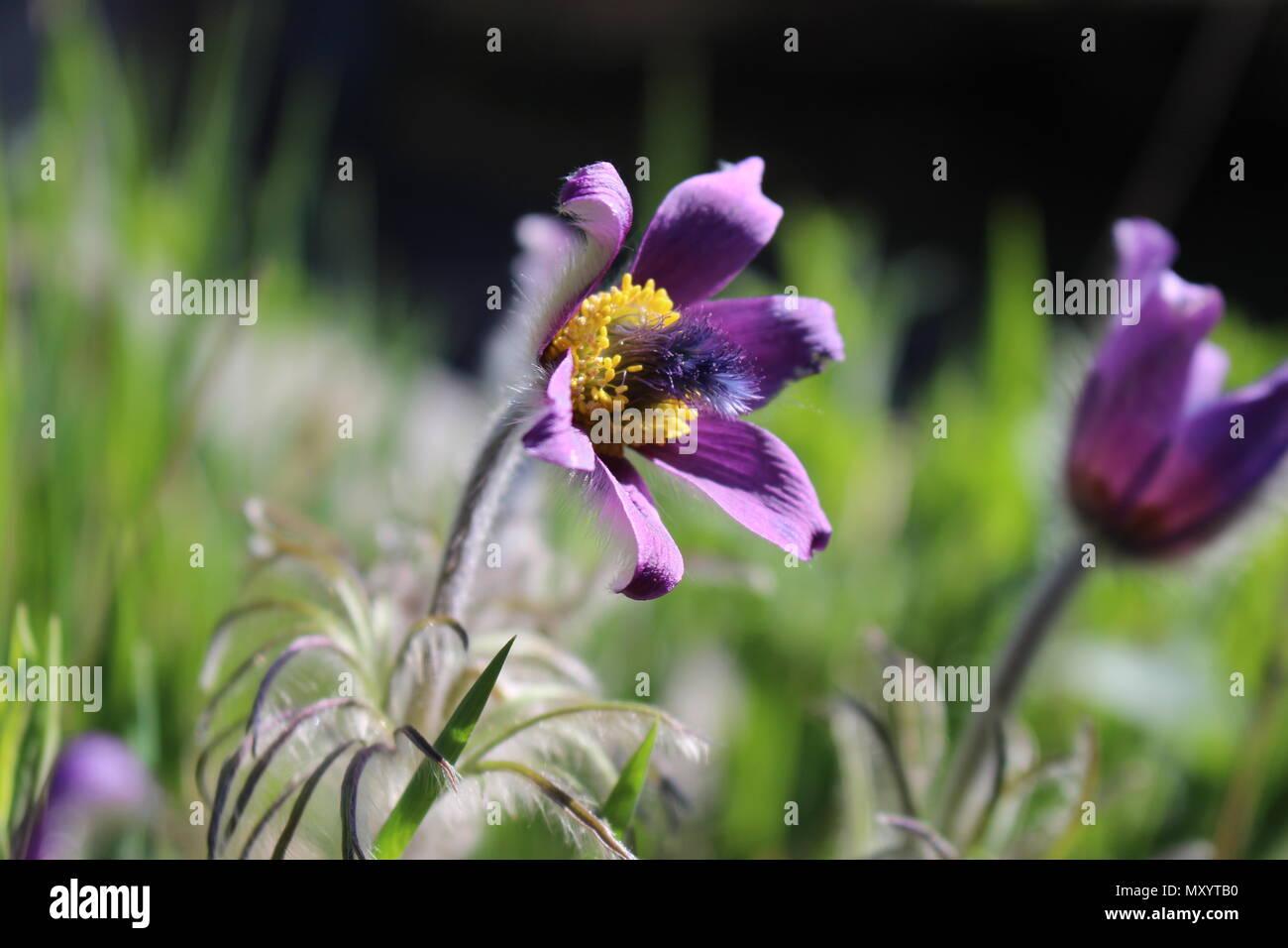 Purple Flower Of Wild Species Of Anemone Pulstailla Montana With