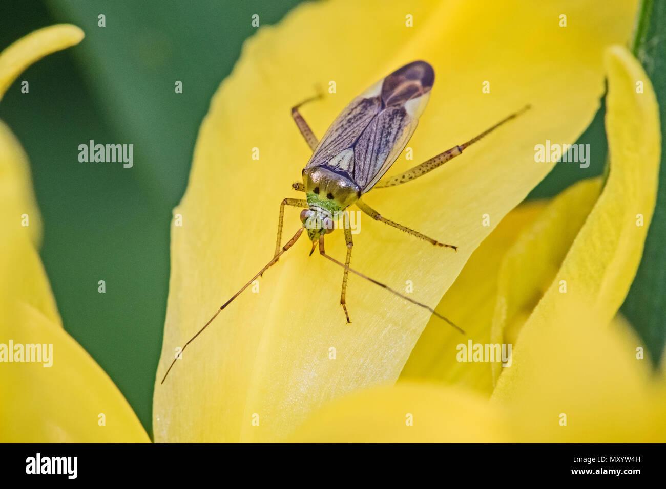 Capsid Bug  (Closterotomus trivialis)  on yellow iris - Stock Image