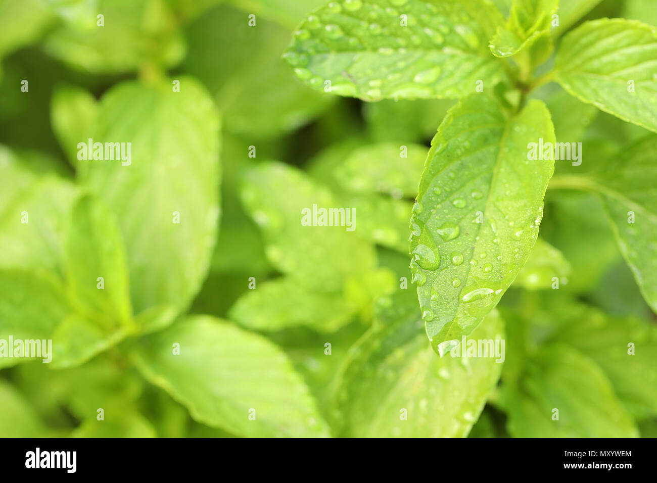 close up image of perenial basil herb herbal plant. healthy living cooking ingredient. Vietnamese basil plant. home gardening detailed wet dew covered - Stock Image