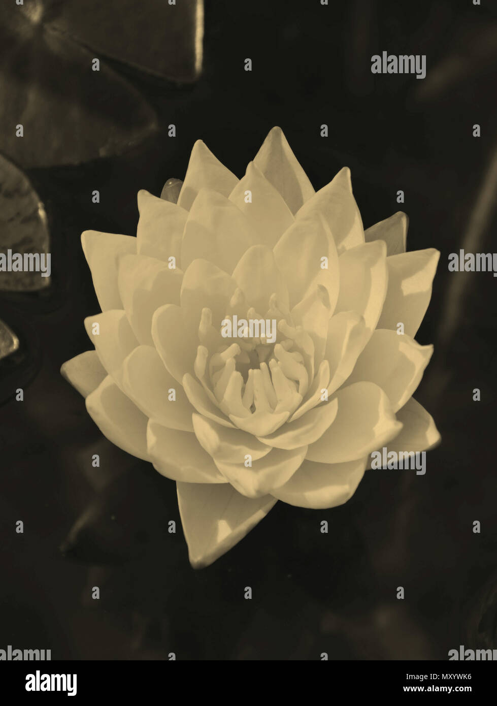 water lily with sepia effect as a sign of loss, sadness and lonliness - Stock Image