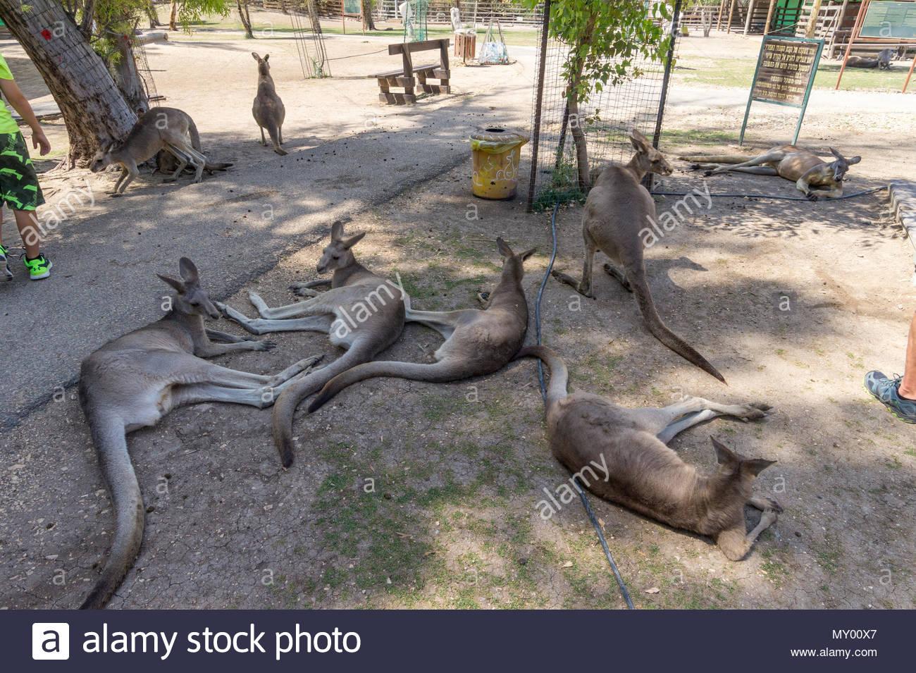 Kangaroos interact with tourists at the Gan Garoo park at Kibbutz Nir David in Israel - Stock Image