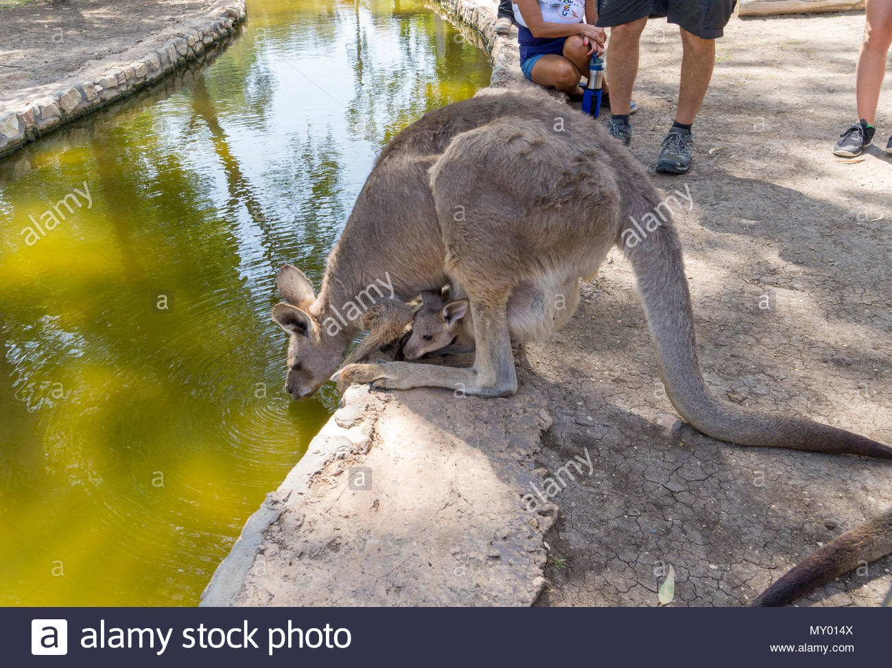 A joey kangaroo peeks out of the pouch as his mother takes a drink at the Gan Garoo park at Kibbutz Nir David in Israel - Stock Image