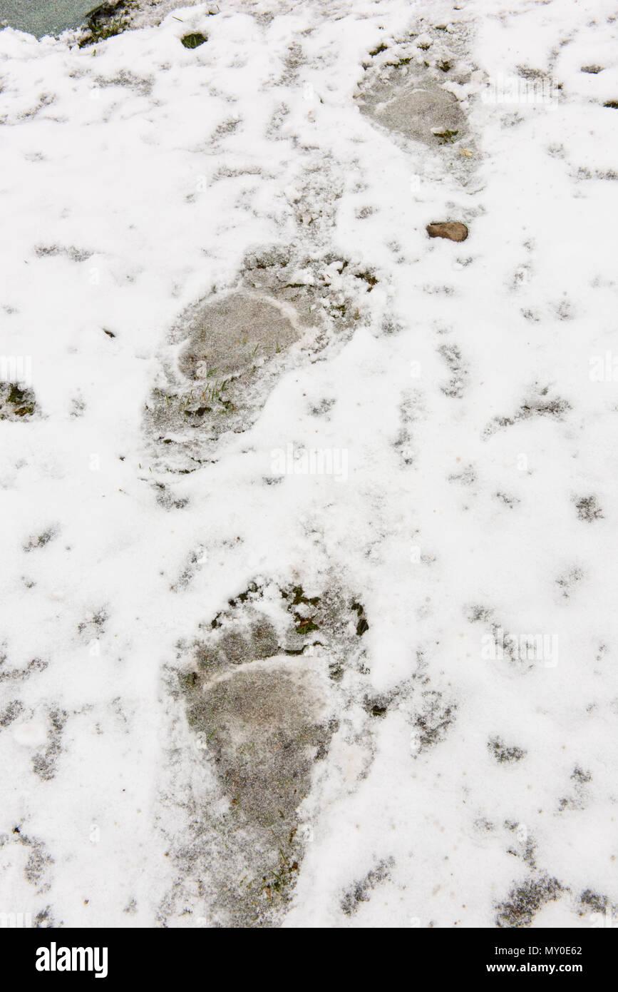 Grizzly bear (Ursus arctos)- Footprints in snow, Chilcotin Wilderness, BC Interior, Canada - Stock Image
