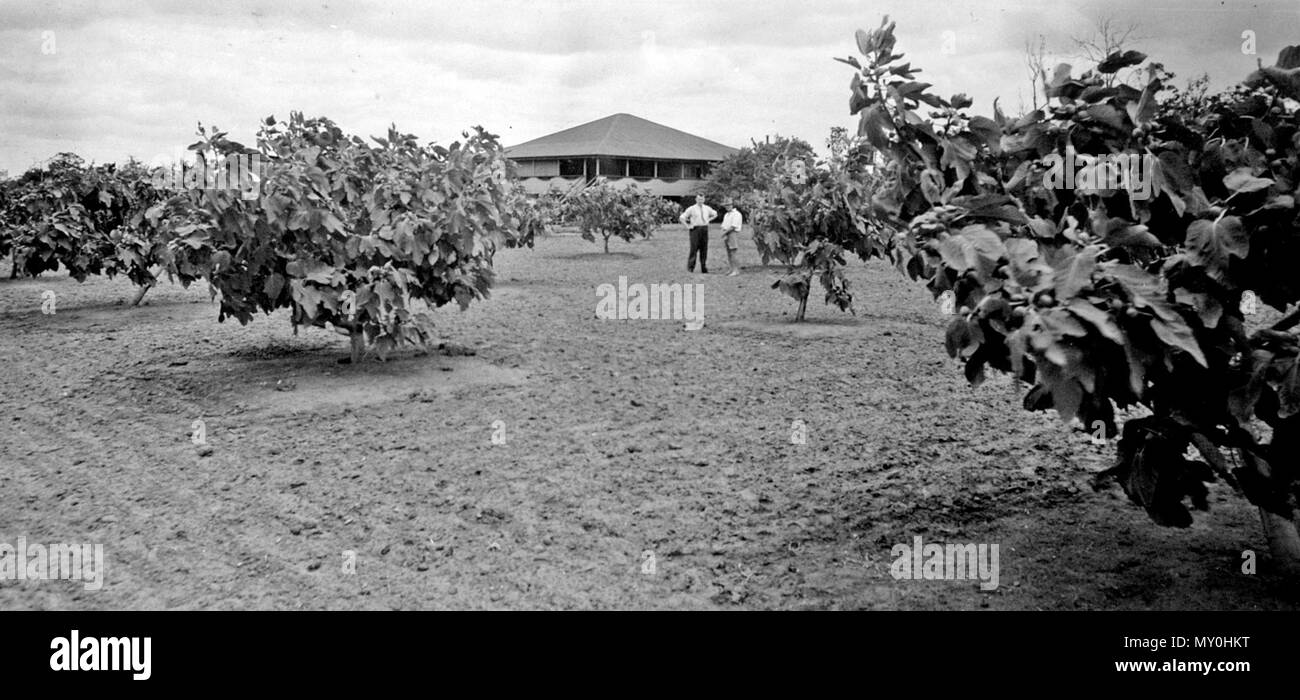 Fig Growers Orchard Sunnybank, 1937. The Brisbane Courier 30 August 1930  SUNNYBANK - FRUIT GROWING AND MARKET GARDENING 21565388 )   Sunnybank, situated about 10 miles from Brisbane, along the Southport railway line, possesses a variety of rich soils, and is notable for its production of tropical fruits - particularly pawpaws - and for market-gardening.  Although the district was settled many years ago, when Brisbane was in its infancy, little had been done up to 20 years ago in the way of extensive development. Since then, however, Sunnybank has become one of the best-developed and prolific  Stock Photo
