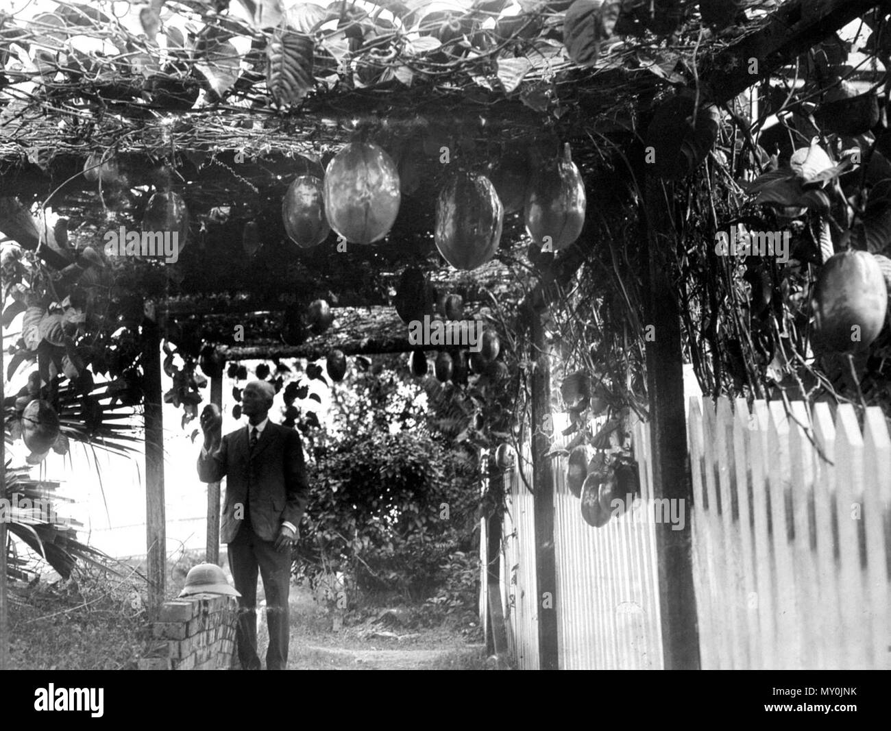 Granadilla Passion Vine, Indooroopilly, 1928. The Brisbane Courier 9 May 1928  A BIG GRANADILLA. 21284970 )   A giant granadilla was brought to the Courier office yesterday by Mr. E. A. Aldridge, who grew it at his home at Stanley-terrace, Taringa. It was 1ft. 11½in. long, and 1ft. 7½in round the sides. The granadilla is a tropical fruit, but Mr. Aldridge says he has no difficulty in growing them in Brisbane, even at this time of the year. He has four vines all of which are good bearers, and a visitor from Cooktown, the home of the granadilla, informed him that they bore the best fruit he had  - Stock Image