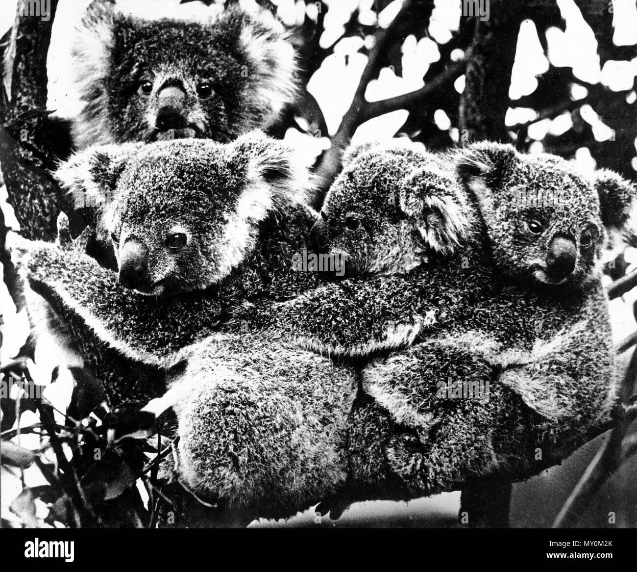 Koalas in a gum tree c 1931 the original photograph caption refers to the