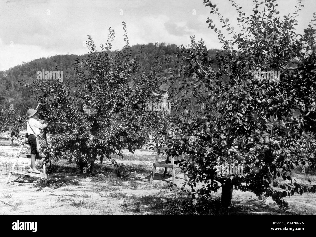The Brisbane Courier 28 February 1913 Successful Cold Storage of Fruit. 19874969 ) Mr. Ross (Instructor in Fruit Cultivation) has furnished n report to theu0027 ... & Picking Black Diamond Plums Ballandean c1900. The Brisbane Courier ...