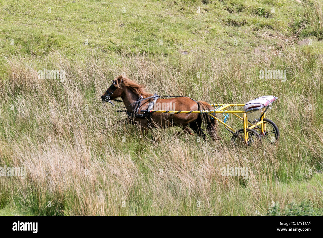 Kirkby Stephen, Cumbria, UK. 5th June, 2018. Weather. 05/06/2018. Runaway horse, and rig as Members of the travelling community head for Appleby Horse Fair. The roads in Cumbria & the Yorkshire Dales provide grazing for their Cob Horses en-rout to their annual gathering. The horse fair is held each year in early June. It attracts about 10,000 Gypsies and Travellers and about 30,000 other people. Rather than an organised event with a set programme, it's billed as the biggest traditional Gypsy Fair in Europe, one that's like a big family get together. Credit: MediaWorldImas/AlamyLiveNews - Stock Image