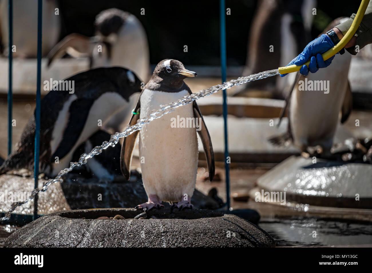 Edinburgh Zoo, UK. 5th Jun, 2018.  Gentoo Penguins at Edinburgh zoo keep cool in the hot weather. credit steven scott taylor / alamy live news - Stock Image
