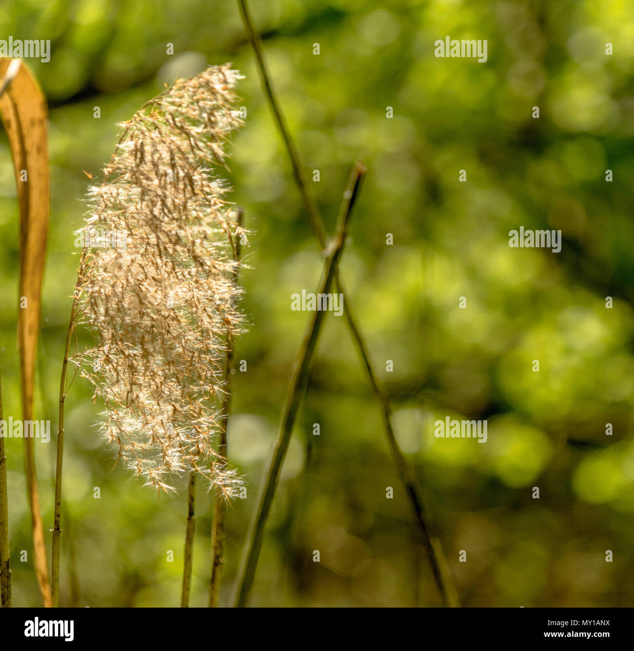 Blooming Reed Phragmites In Bright Sunshine Against An Intentionally Blurred Green Background Germany