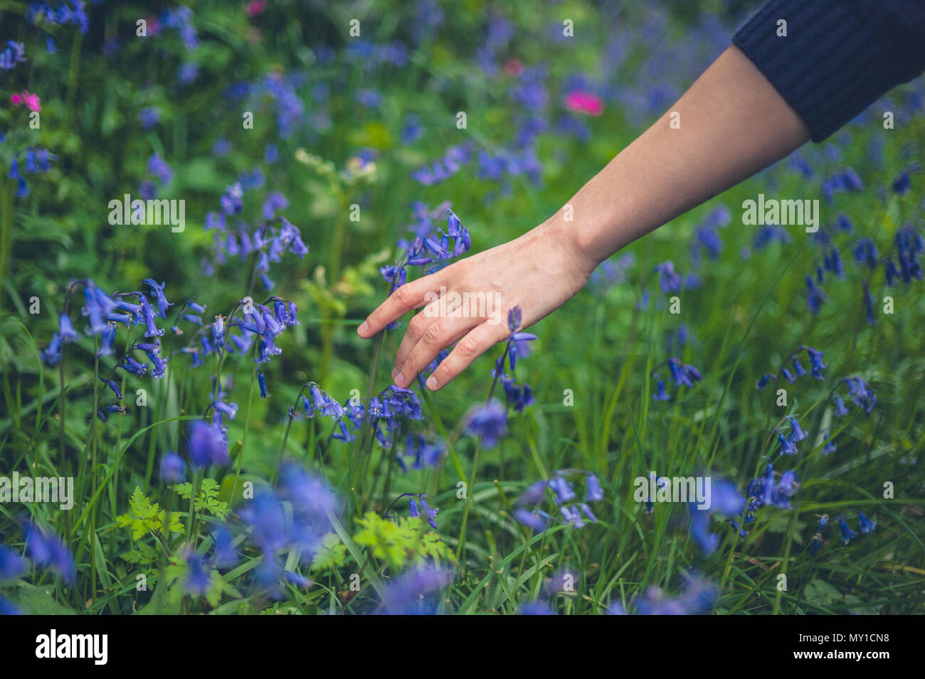 The hand of a young woman touching bluebells - Stock Image
