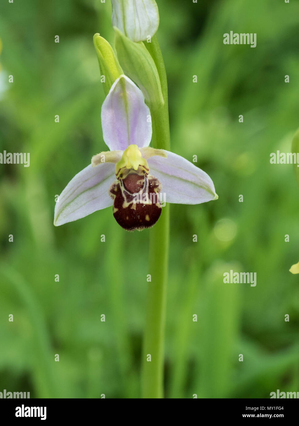 A close up of a single flower of a bee orchid Ophrys apifera - Stock Image