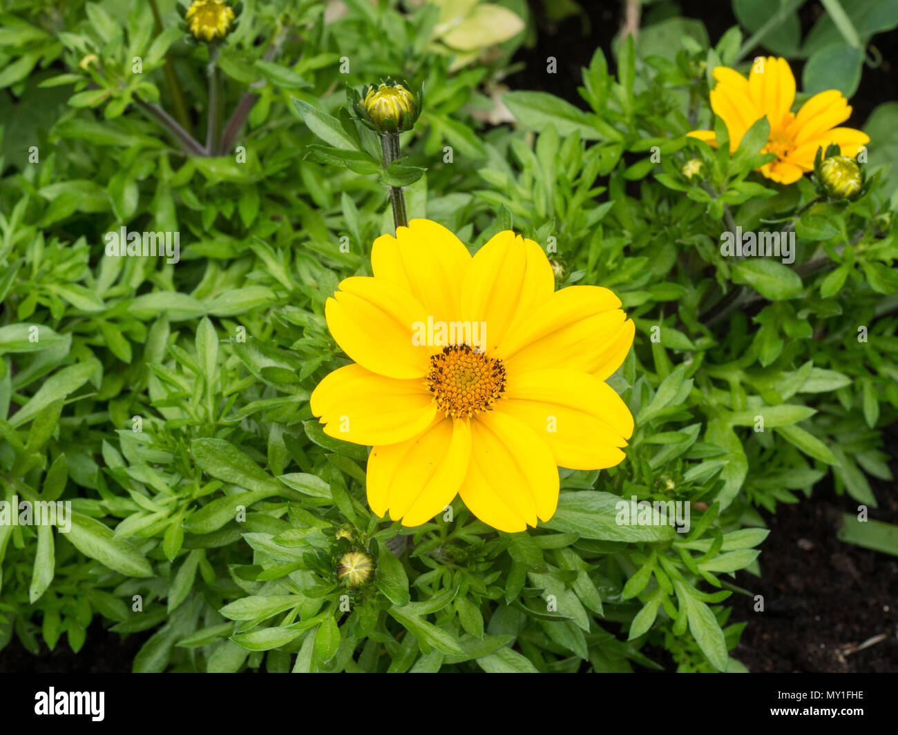 Canary yellow flowers stock photos canary yellow flowers stock a close up of the bright yellow daisy flower of bidens rockstar stock image mightylinksfo