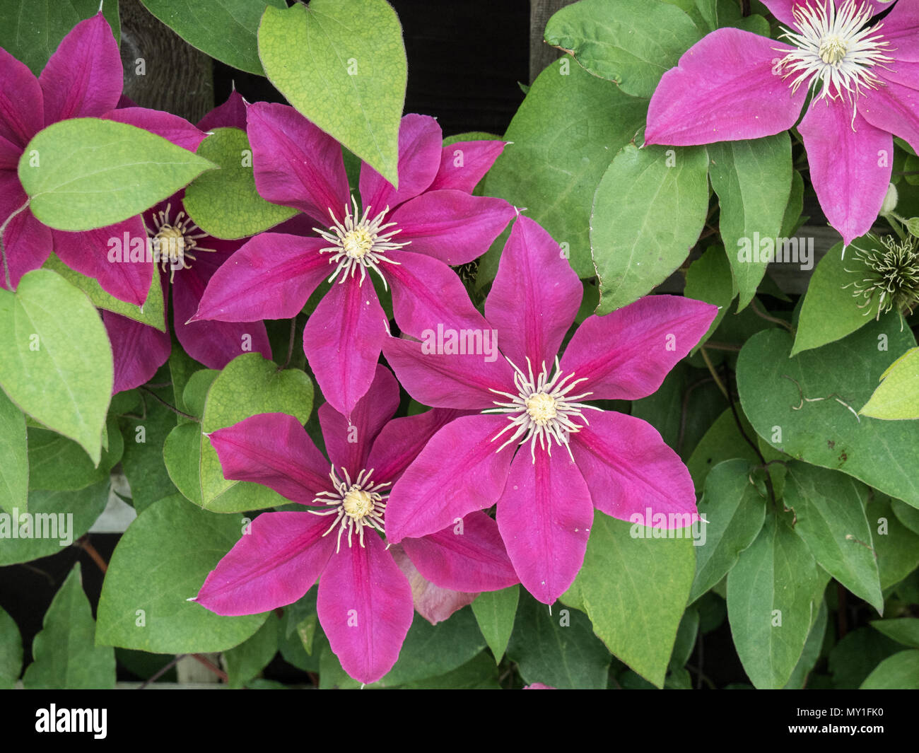 A group of the large magenta flowers of Clematis Acropolis - Stock Image