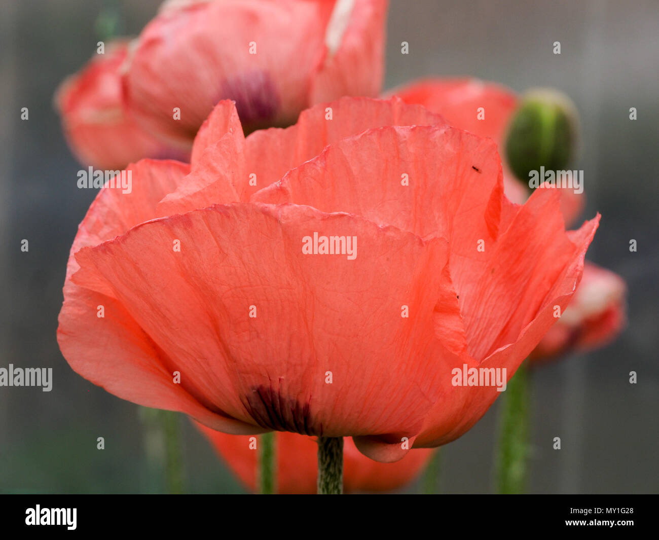 A close up of a single pink flower of the poppy Fruit Punch Stock Photo