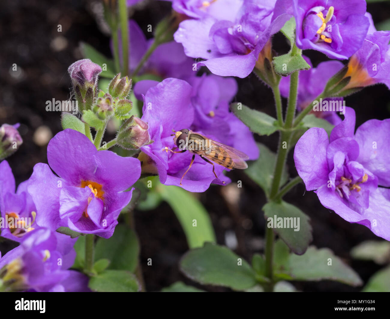 A common hoverfly Syrphus ribesii feeding on a flower of Bacopa Indigo Blue - Stock Image