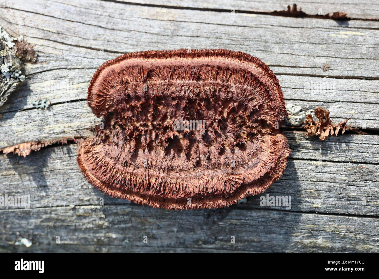 Mushroom of strange shape  and red color grows on the trunk of a tree. Sunny day outdoor macro Stock Photo