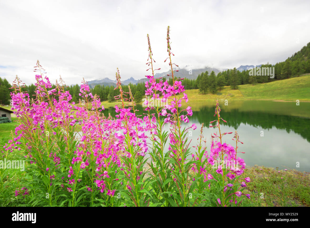 Pink Flower Field Pink Flowers Grows In Front Of Lake Beautiful