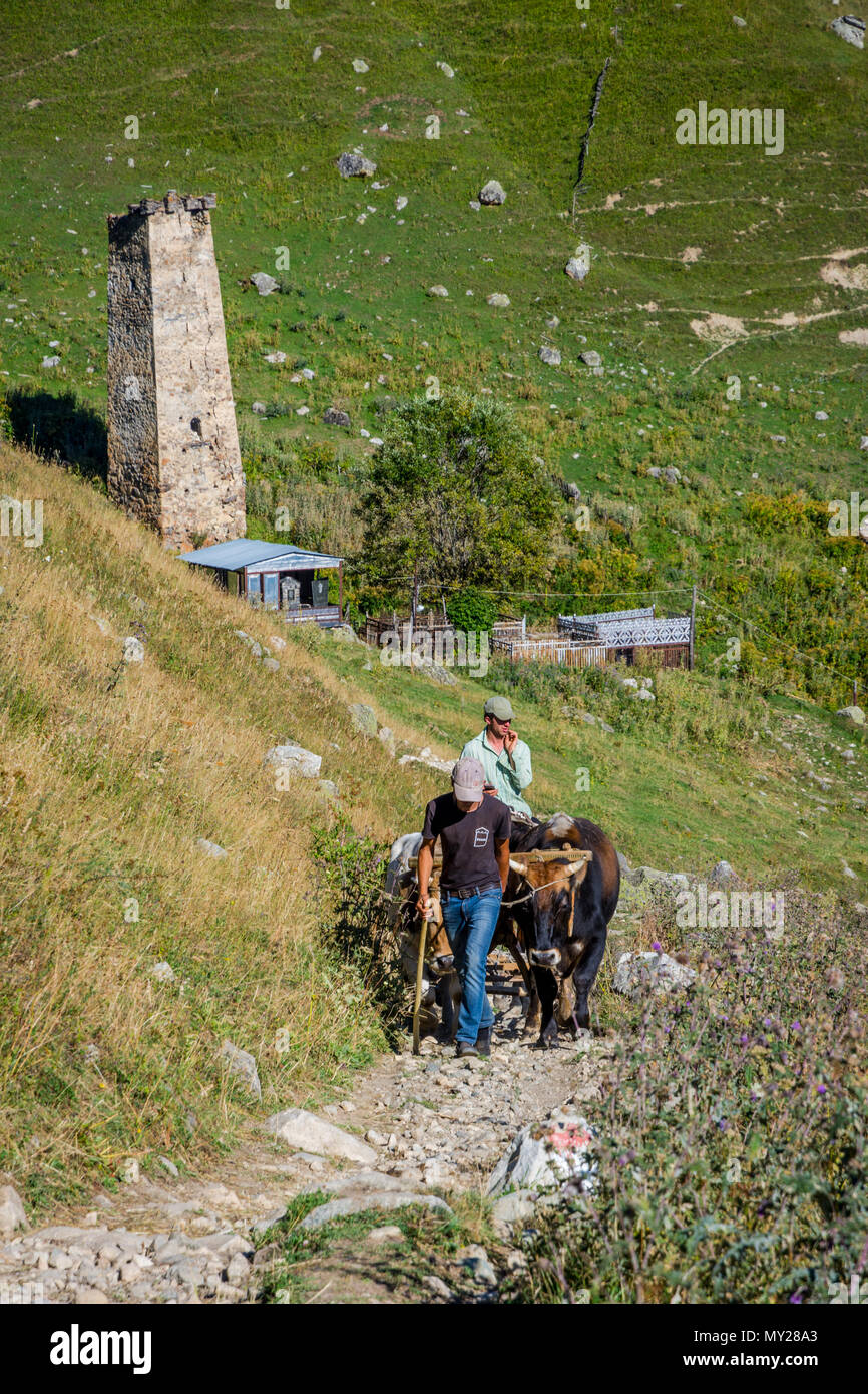Adishi, Georgia - September 5, 2017: Men guiding cows that are pulling a plough on a small path in a remote village in Adishi, Georgia - Stock Image